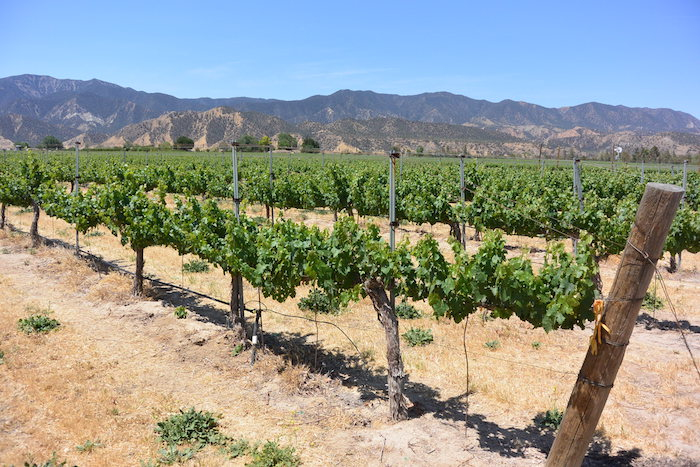 The Coolest Vineyard in California: Meet the Santa Barbara
