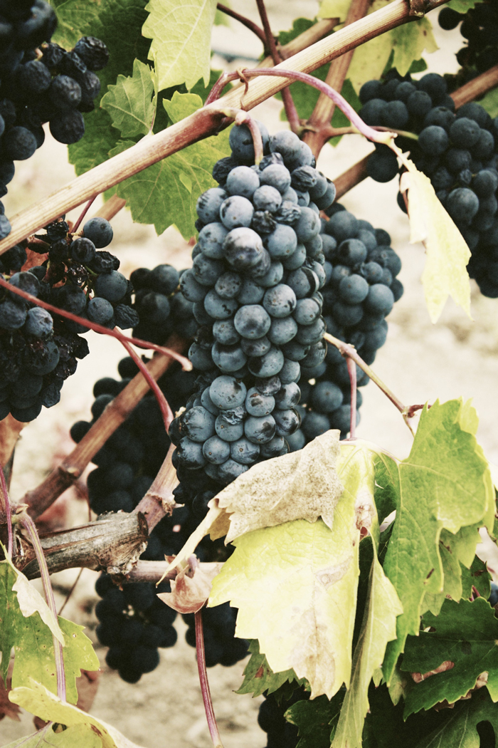 The difference between table grapes and wine grapes the juice club w - Table grapes vs wine grapes ...