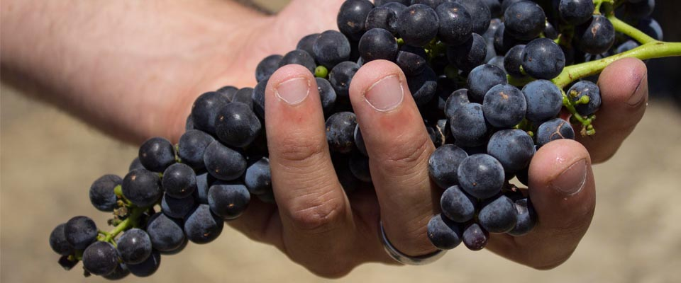 #WINCHarvest15 // These Grapes Will Be In Your Wine Next Year