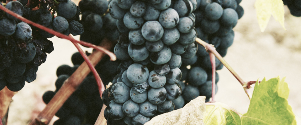 Can You Eat a Wine Grape Off the Vine?