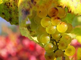 The Many Shades of Chardonnay