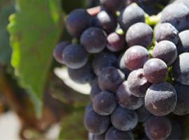 Grenache vs. Garnacha! A Handy List of Grape Twins