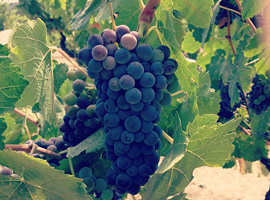 Is Petit Sirah The Same As Syrah? What About Shiraz?